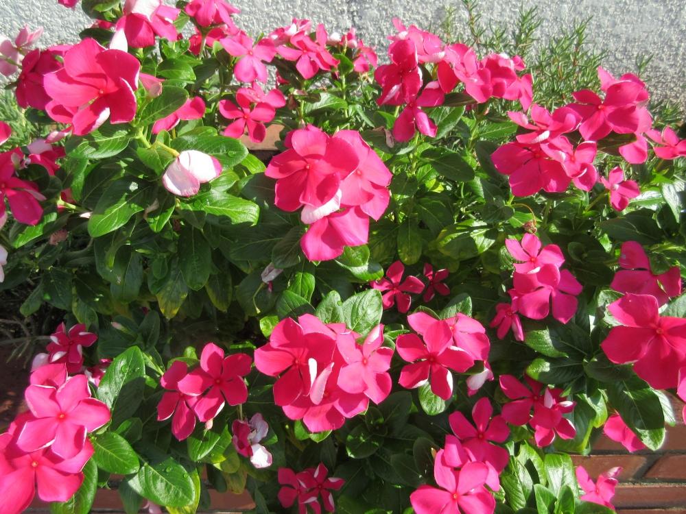 暑さに強い夏の花に元気をもらっています